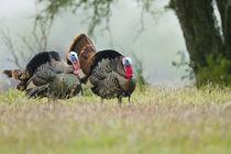 Wild Turkey males strutting, Texas, USA. by Danita Delimont