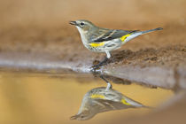 Yellow-rumped Warbler drinking and bathing at pond, Texas, USA. by Danita Delimont