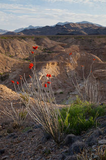 Ocotillo plant in bloom. von Danita Delimont