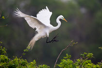 Great Egret breeding activity and plumage. von Danita Delimont