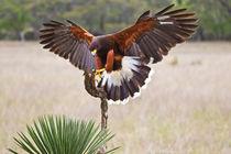 Harris's Hawk landing on perch limb. von Danita Delimont