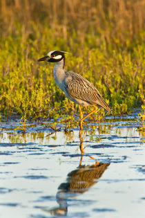 Yellow-crowned Night-heron wading in salt marsh. by Danita Delimont