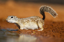 Mexican Ground Squirrel drinking by Danita Delimont