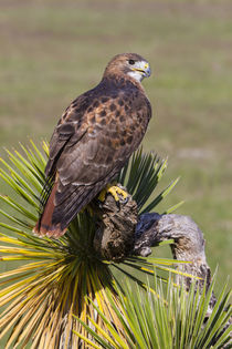 Red-tailed Hawk perched by Danita Delimont