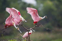 Roseate Spoonbill landing on perch at High Island, Texas by Danita Delimont