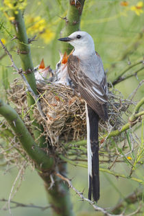 Scissor-tailed Flycatcher adult with babies at nest by Danita Delimont