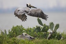 Brown Pelican nesting by Danita Delimont