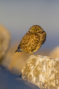 Burrowing Owl adult roosting on rock by Danita Delimont