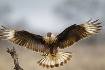 Crested Caracara landing by Danita Delimont