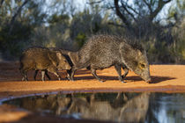 Collared Peccary family at pond by Danita Delimont