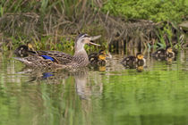 Mottled Duck hen and young feeding von Danita Delimont