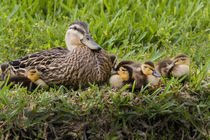 Mottled Duck female brooding young by Danita Delimont