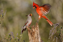 Northern Cardinal challenging Pyrrhuloxia for position on feeding log by Danita Delimont