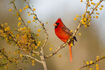 Northern Cardinal male perched in blooming huisache tree von Danita Delimont