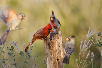 Northern Cardinal and Pyrrhuloxia perched on dead limb by Danita Delimont