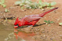 Northern Cardinal male at water Starr Co von Danita Delimont