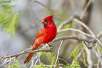 Northern Cardinal male Starr, Texas, USA. by Danita Delimont