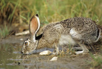Black-tailed Jack Rabbit drinking at water, Starr County, Texas von Danita Delimont