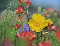 Missouri Primrose, Indian Paintbrush and Peppergrass, Texas von Danita Delimont