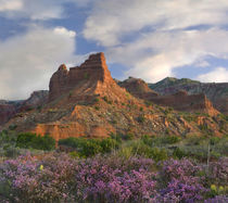 Feather Dalea in front of a butte, Caprock Canyons State Par... by Danita Delimont