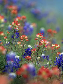 Texas paintbrushes and bluebonnets, Texas von Danita Delimont