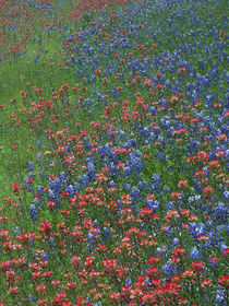 Paintbrush and Bluebonnets make a pattern in the meadow, Hil... von Danita Delimont
