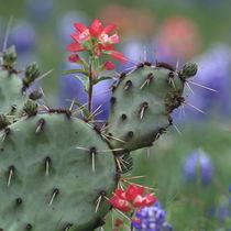 Indian Paintbrush and Prickly Pear Cactus, Texas, USA von Danita Delimont