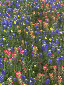 Bluebonnets, paintbrushes and false dandelion near Cat Sprin... by Danita Delimont