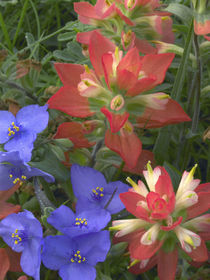 Spiderwort and paintbrushes, Texas, USA by Danita Delimont
