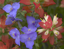 Close-up of Spiderwort and paintbrushes, Texas, USA by Danita Delimont
