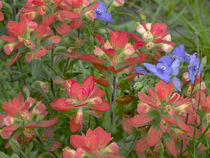 Indian paintbrushes with spiderwort, Texas, USA von Danita Delimont