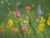 Indian paintbrushes with coreopsis and Penstemon, Texas, USA von Danita Delimont