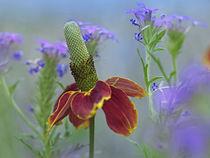 Prairie coneflower, Texas, USA by Danita Delimont
