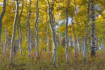 Fall aspen trees along Skyline Drive von Danita Delimont