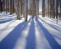 USA, Utah, Dixie National Forest, Aspens in winter by Danita Delimont