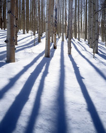 USA, Utah, Dixie National Forest, Aspen by Danita Delimont
