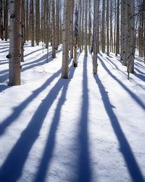 USA, Utah, Dixie National Forest, Aspen by Danita Delimont