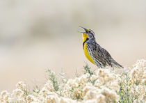 Western Meadowlark singing by Danita Delimont