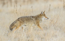 Usa, Utah, Antelope Island State Park, an adult coyote wande... von Danita Delimont