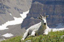 Mountain Goat Mount Timpanogos Wilderness, Wasatch Mountains... von Danita Delimont