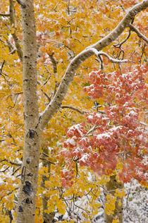 First Snow Storm, yellow and red Aspen Trees, near Alta, Utah von Danita Delimont