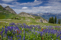 Aster, Lupine, Bistort, and Indian Paintbrush, Mount Timpano... von Danita Delimont