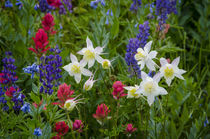 Columbine, Indian Paintbrush, Bluebells, and Lupine, Mount T... by Danita Delimont