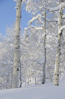 Fresh Snow, Snow-Covered Aspens, Beartrap-Desolation Ridge, ... von Danita Delimont