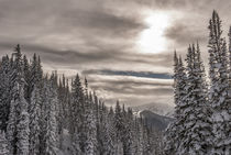 Fresh Snow in Evergreens from Beartrap Canyon, looking acros... by Danita Delimont