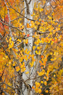 Utah, Dixie National Forest, aspen forest along Highway 12 by Danita Delimont