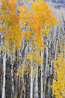 Utah, Dixie National Forest, aspen forest along highway 12 von Danita Delimont