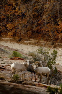 Usa, Utah, Zion National Park, Big Horn Sheep gathered on ro... by Danita Delimont