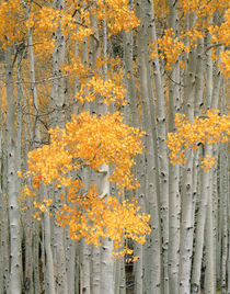 USA, Utah, Aspen grove in autumn on Fish Lake Plateau near F... by Danita Delimont