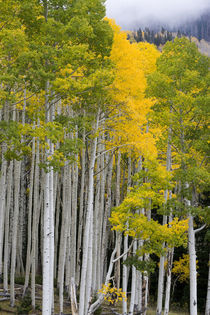 USA. Aspen trees in autumn. Sevier Plateau. Fishlake National Forest. by Danita Delimont